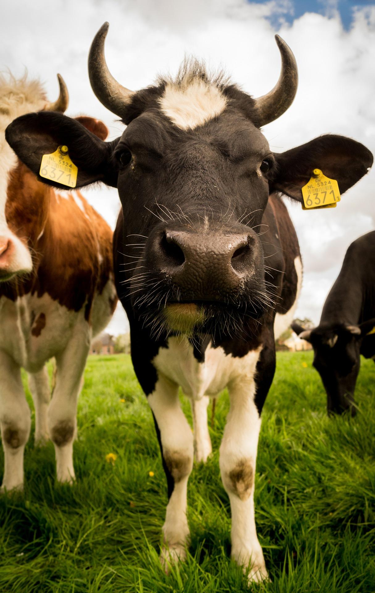 livestock-384628_1920